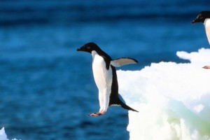 Expedition penguin jumping 300x200 Photos