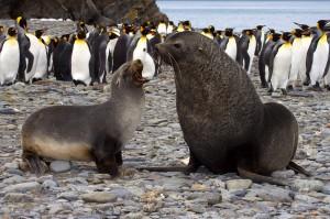 antarctic fur seals king penguins lg 300x199 Photos